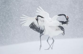 Japanese cranes in courtship display, Hokkaido, Japan