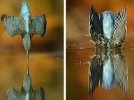 After 6 Years (And 720,000 Photos) Photographer Finally Got The Perfect Shot Of Kingfisher