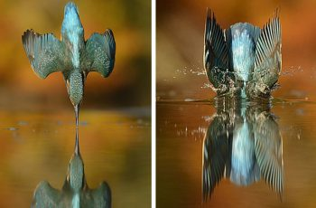 perfect kingfisher dive photo wildlife photography alan mcfadye 8