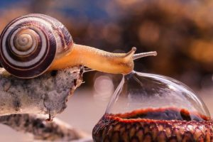 A snail drinks from a droplet of water