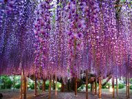 The Most Beautiful Wisteria Tree in Japan