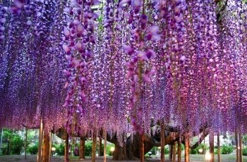 Wisteria Tree in Japan 7