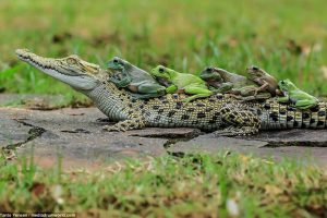 incredible-pictures-capture-the-moment-a-family-of-frogs-ride-on-the-back-of-a-crocodile-1