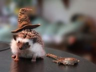20 Photos of Hedgehogs with Hats